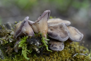 Lentinus conchatus